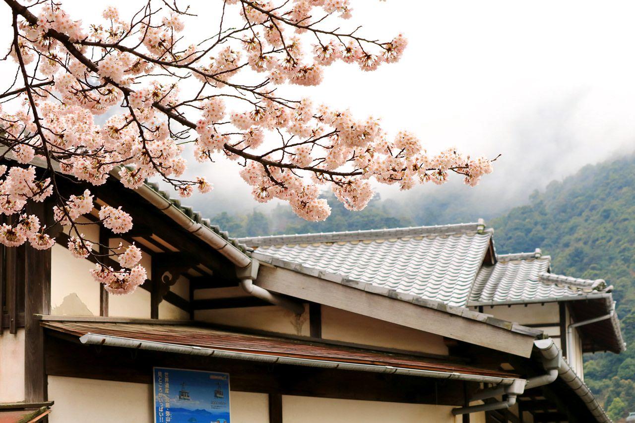 厳島神社裏手には風情ある桜並木が!