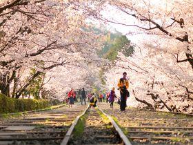 タダで楽しめる!京都・左京エリアのオススメ桜スポット5選|京都府|トラベルjp<たびねす>