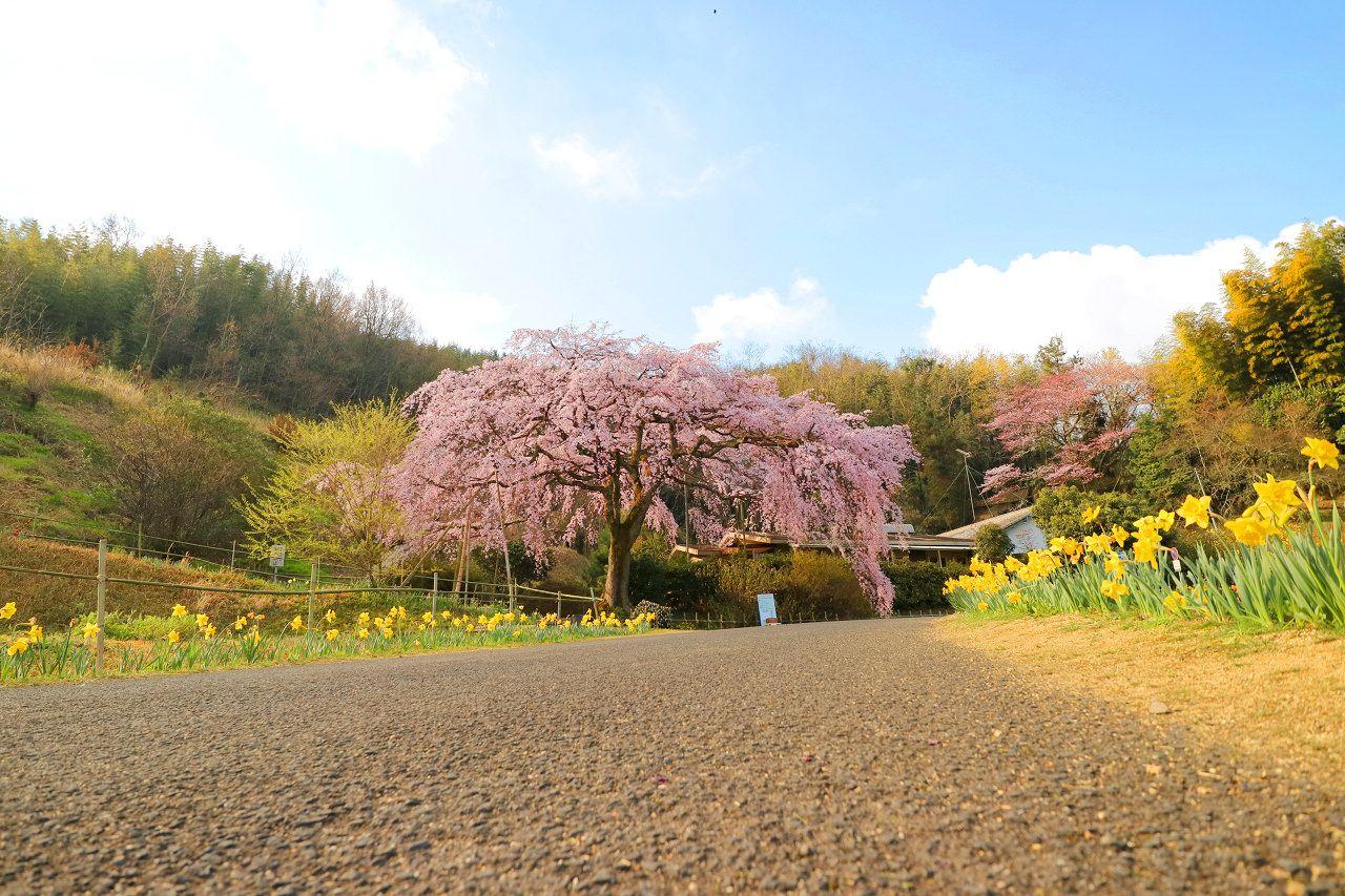 田んぼの先にポツンと一本!西分のしだれ桜