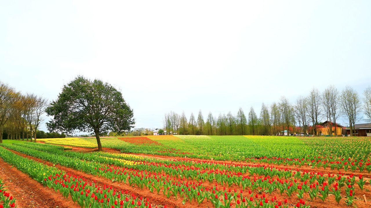 メタセコイアの並木とチューリップ