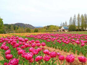広島・世羅高原「チューリップ祭」はSNS映えするカラフルロケーション!|広島県|トラベルjp<たびねす>
