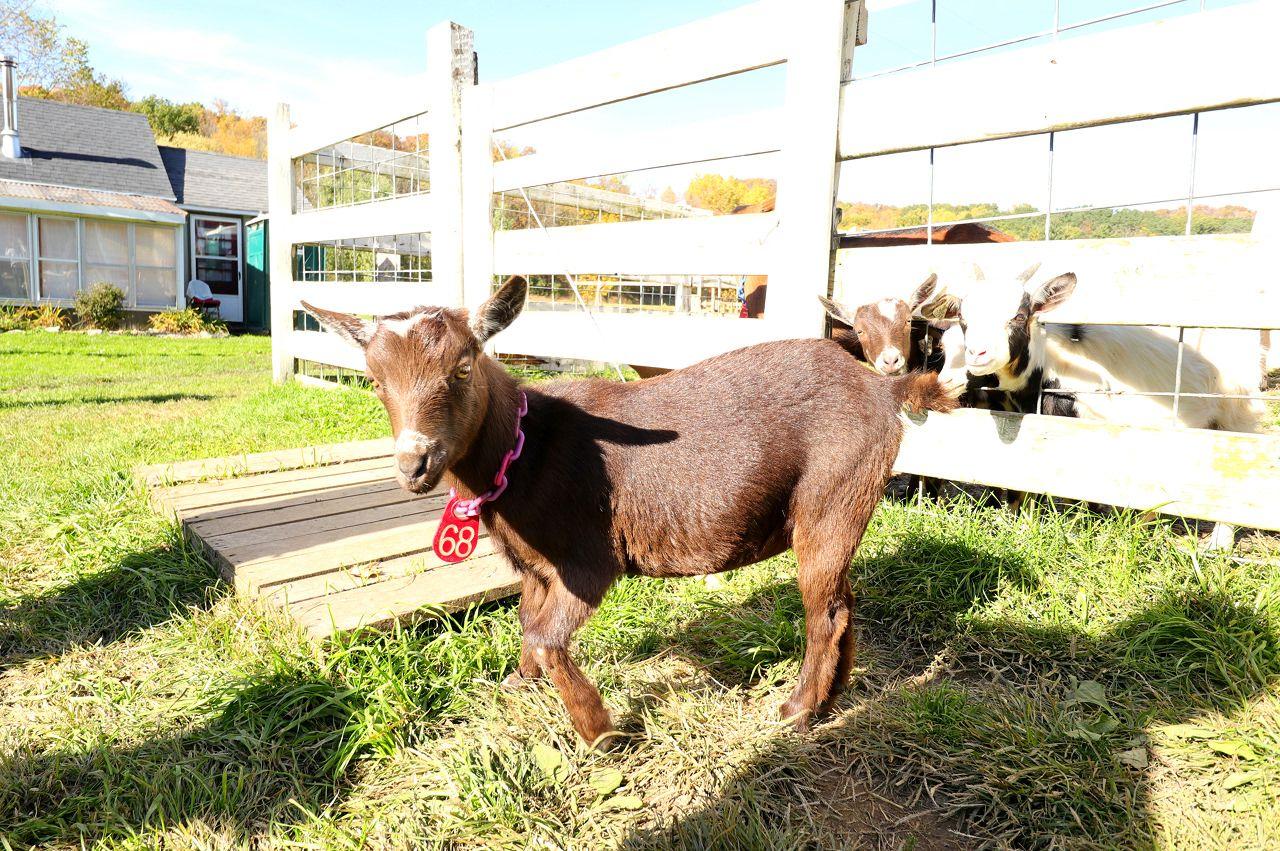 ヤギとヨガができる牧場