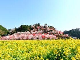 黄色い海とピンクの島!春の高知「西川花祭り」で絶景花見