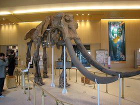日本初で日本最大!ミエゾウ復元骨格が津市「MieMu」に出現!|三重県|トラベルjp<たびねす>