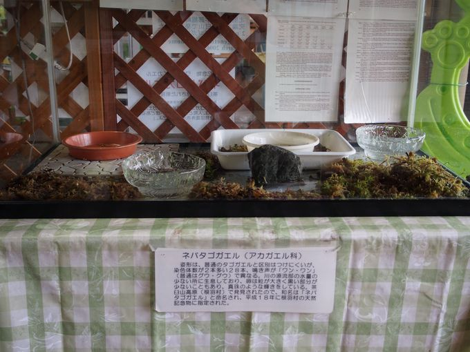 天然記念物「ワンと鳴くカエル」