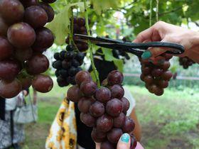 フルーツ狩りが1年中!美味しさいっぱい「原田農園」で旬の収穫体験を満喫しよう|群馬県|トラベルjp<たびねす>