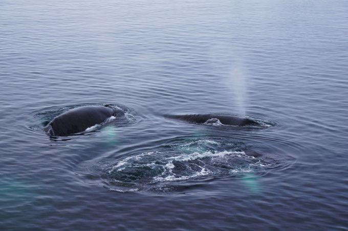 ワイルドライフ クジラの群れに遭遇できるかも