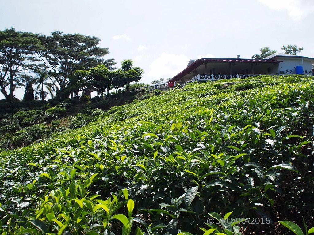紅茶畑に工場見学も