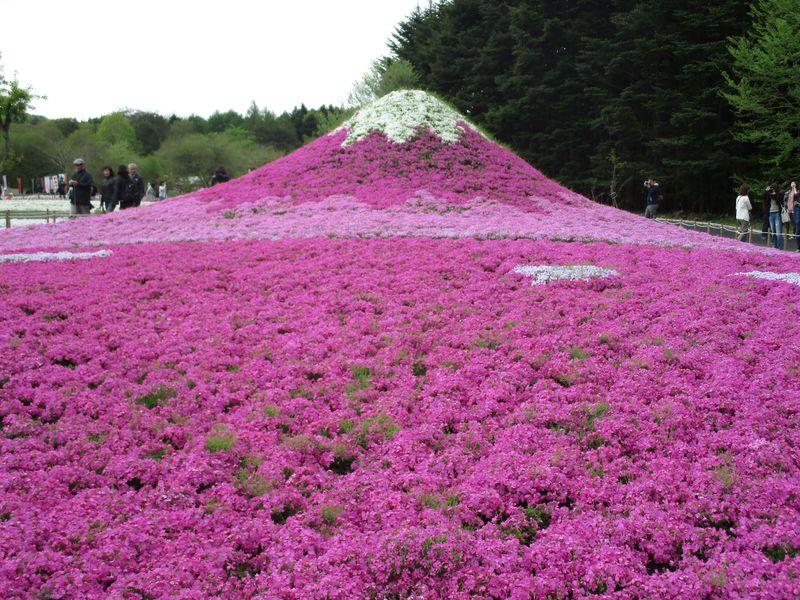 世界が認めた「日本の最も美しい場所31選」富士芝桜まつり!