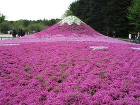 世界が認めた「日本の最も美しい場所31選」富士芝桜まつり!|山梨県|トラベルjp<たびねす>