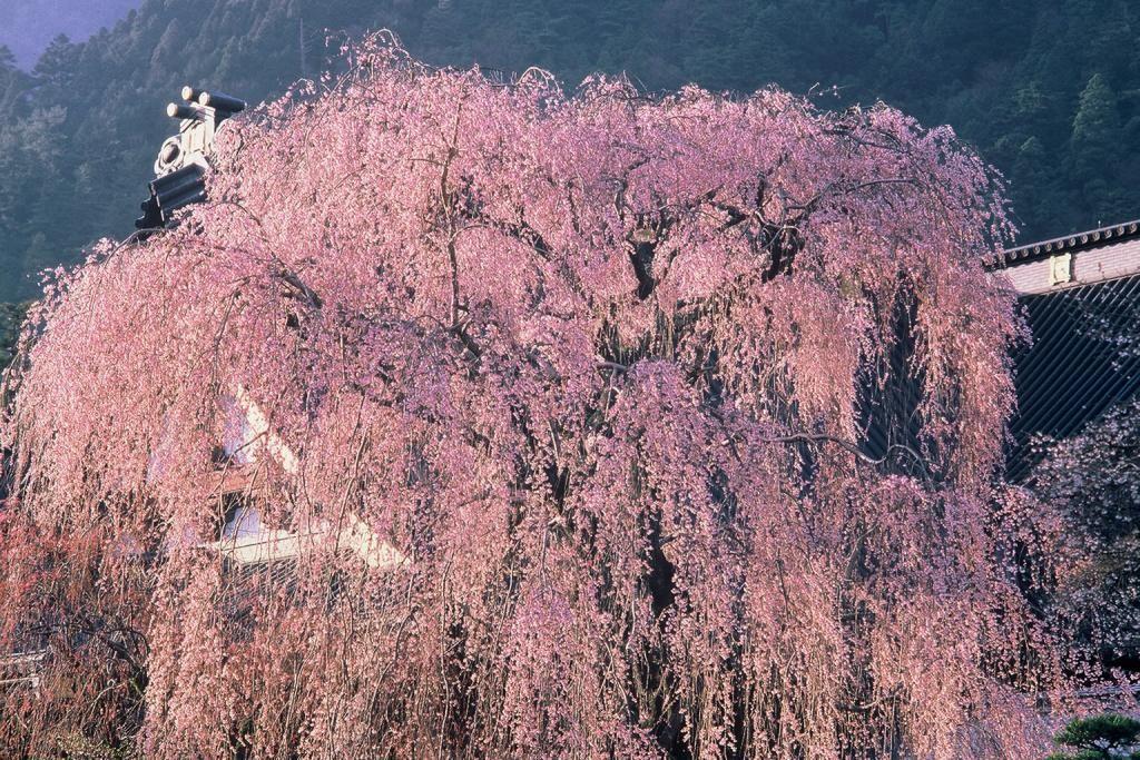 流れ落ちる樹齢400年の桜のシャワー!山梨・身延山久遠寺