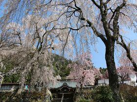 夢のような美しさ!山梨・身延は幽玄なる「しだれ桜の里」