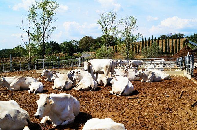ブランド牛キアニーナの肉も購入可能!牛舎も必見