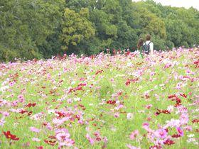秋風吹きぬけるコスモスの丘!大阪の万博記念公園に秋の彩り|大阪府|トラベルjp<たびねす>