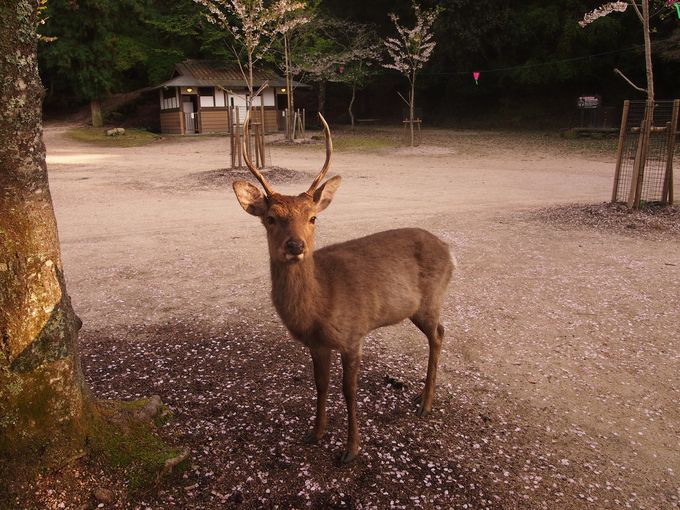 神社エリアの厳かな鹿