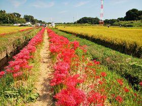 神奈川湘南で彼岸花が彩る田園風景を堪能する「小出川彼岸花」|神奈川県|トラベルjp<たびねす>