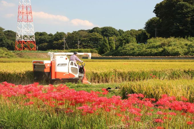 水田と彼岸花とが織り成す風景の美しさを味わおう!