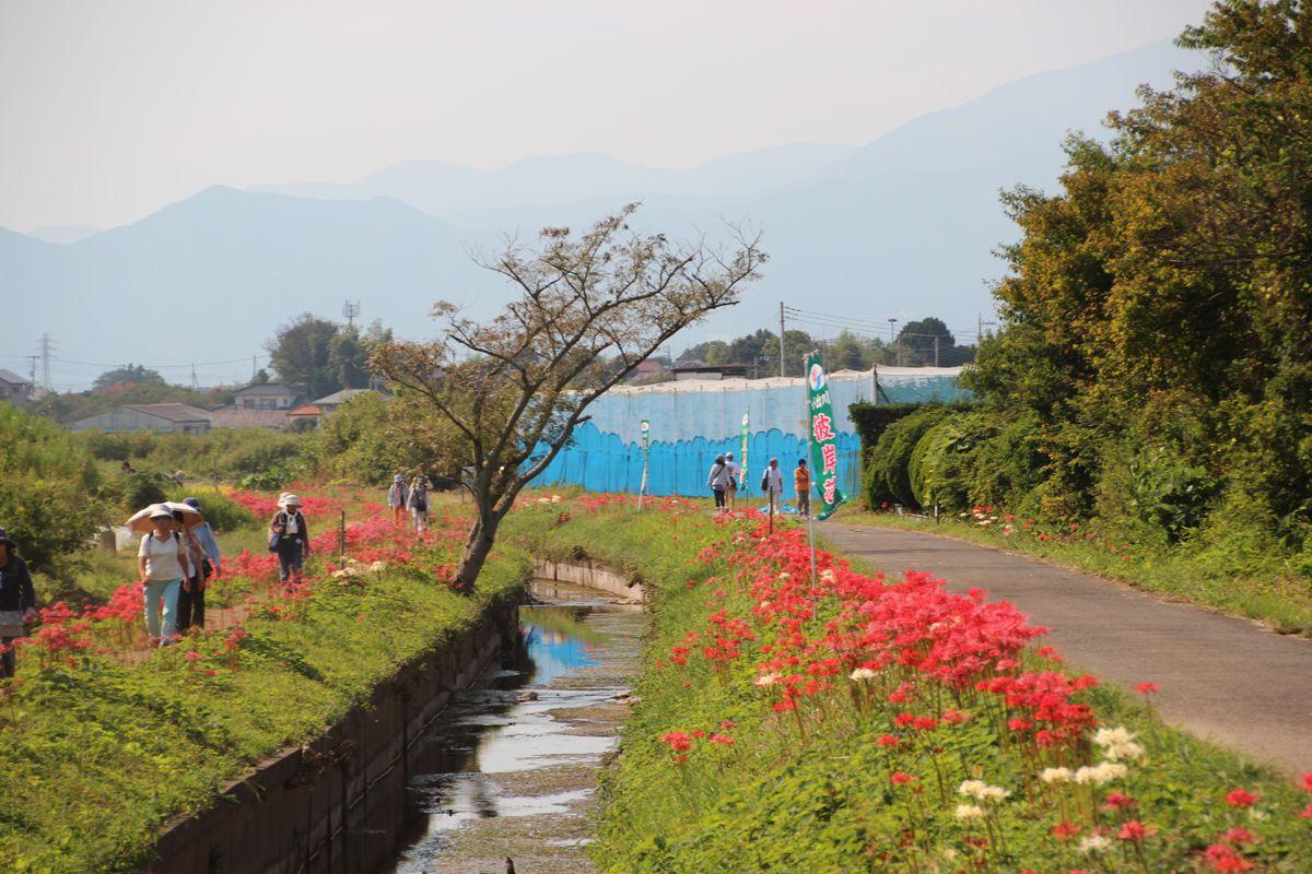 約3km続く彼岸花の帯は見応え充分!