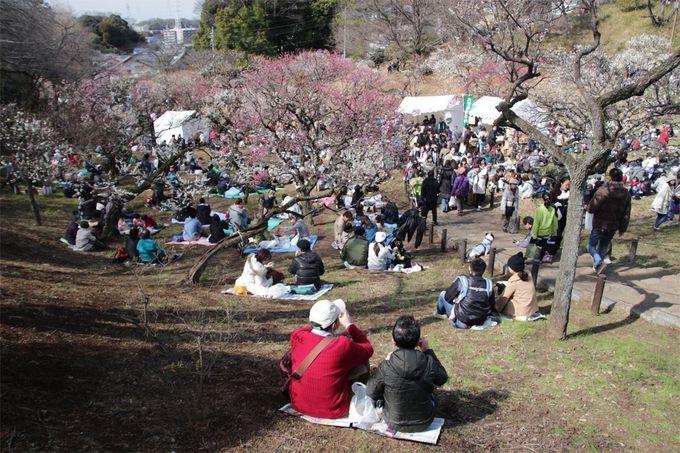 歴史の古い大倉山公園の梅林