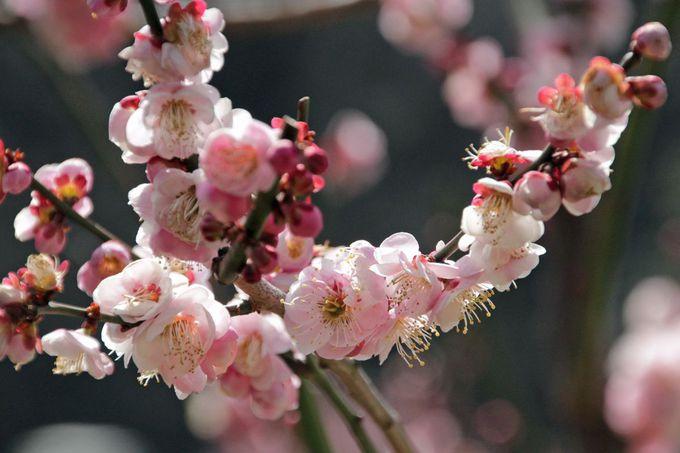 一本一本の梅を観賞しながら園内散策
