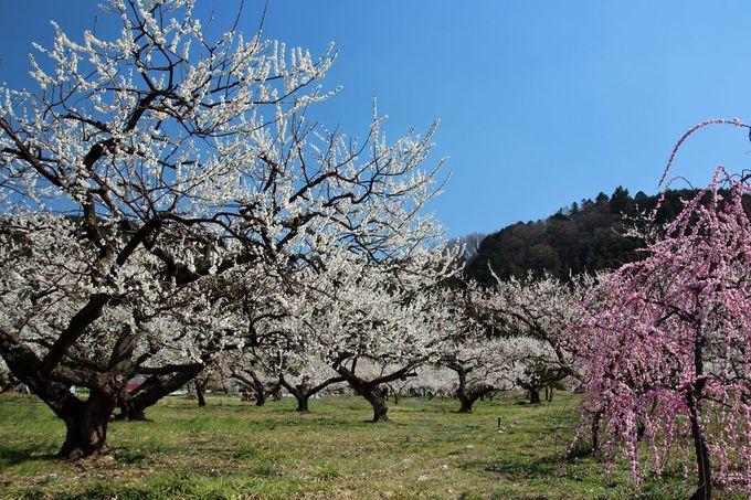 梅に包まれて歩く、越辺川南岸の梅林