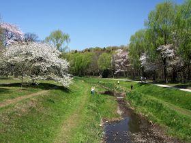 桜の大木が圧巻!河岸の桜も素敵!春の「東京都立野川公園」|東京都|トラベルjp<たびねす>
