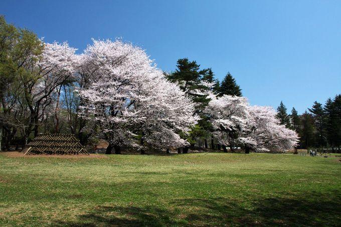 「自由広場」脇、桜の大木が見せる景観は圧巻!