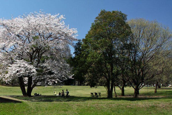 野川が流れる広大な都立公園、桜の景観も素晴らしい!