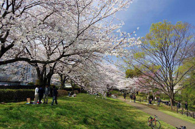 根川緑道は約1.4km、全域が桜並木!