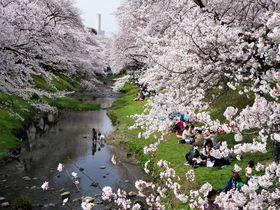 東京都立川市で絶景の桜並木!春の「根川緑道」と「残堀川」|東京都|トラベルjp<たびねす>
