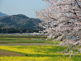 田園風景に桜並木が弧を描く!埼玉県嵐山町「都幾川桜堤」