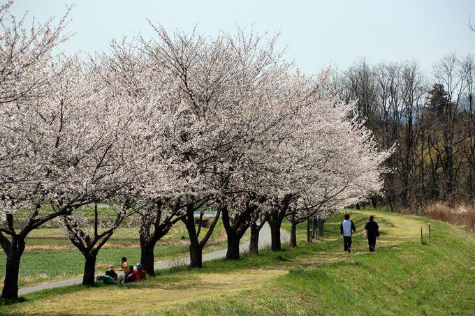 埼玉の桜名所として名を連ねる「都幾川桜堤」