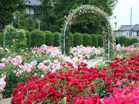 埼玉県内最大級のバラ園が魅力!「伊奈町制施行記念公園」