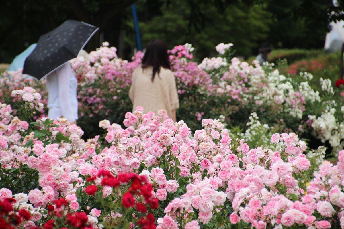 バラ園の見事な伊奈町制施行記念公園、初夏の行楽気分で出かけよう