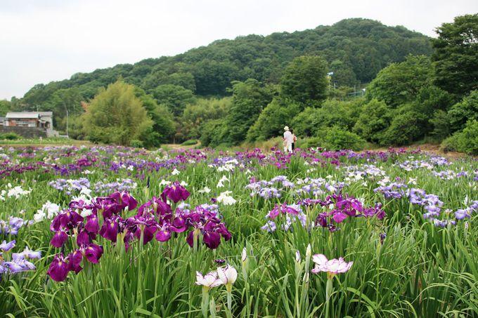 """豊かな自然の中、""""花菖蒲の咲く風景""""を楽しもう"""