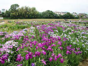 田園風景の中で楽しむ花菖蒲!埼玉県「ときがわ花菖蒲園」