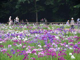 新東京百景にも選ばれた花菖蒲の名所!東村山市「北山公園」|東京都|トラベルjp<たびねす>