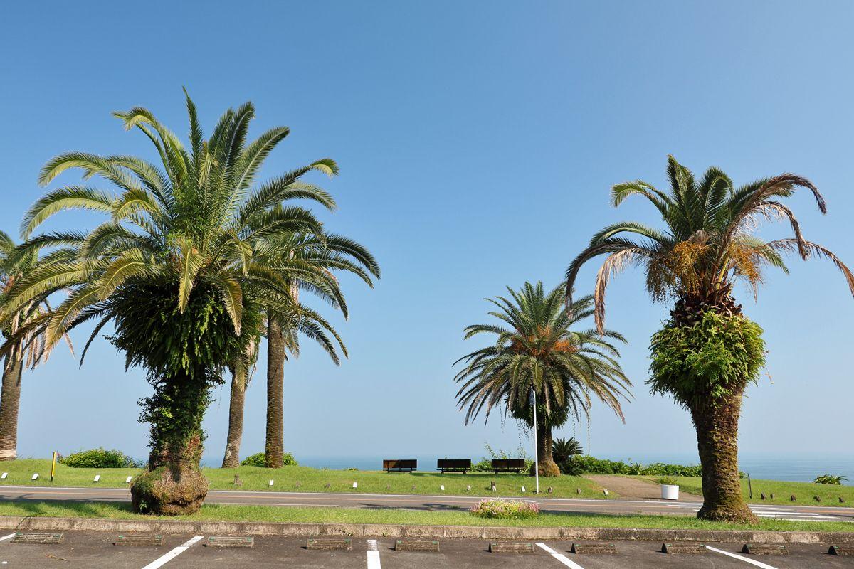 フェニックスは宮崎の「県の木」、南国的景観は県民の原風景