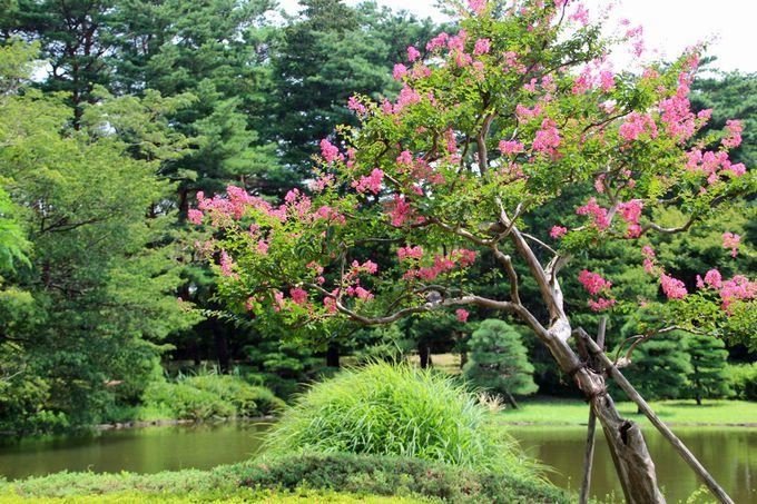 池の岸辺に咲く百日紅も良い風情!