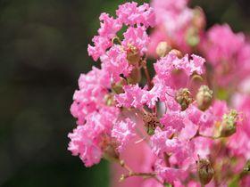 見事な百日紅が楽しめる!東京都調布市「神代植物公園」の夏|東京都|トラベルjp<たびねす>