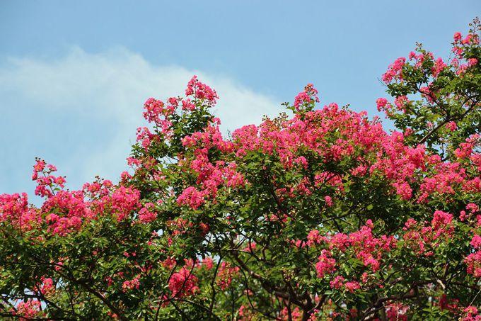 夏の盛り、百日紅の花を楽しもう!