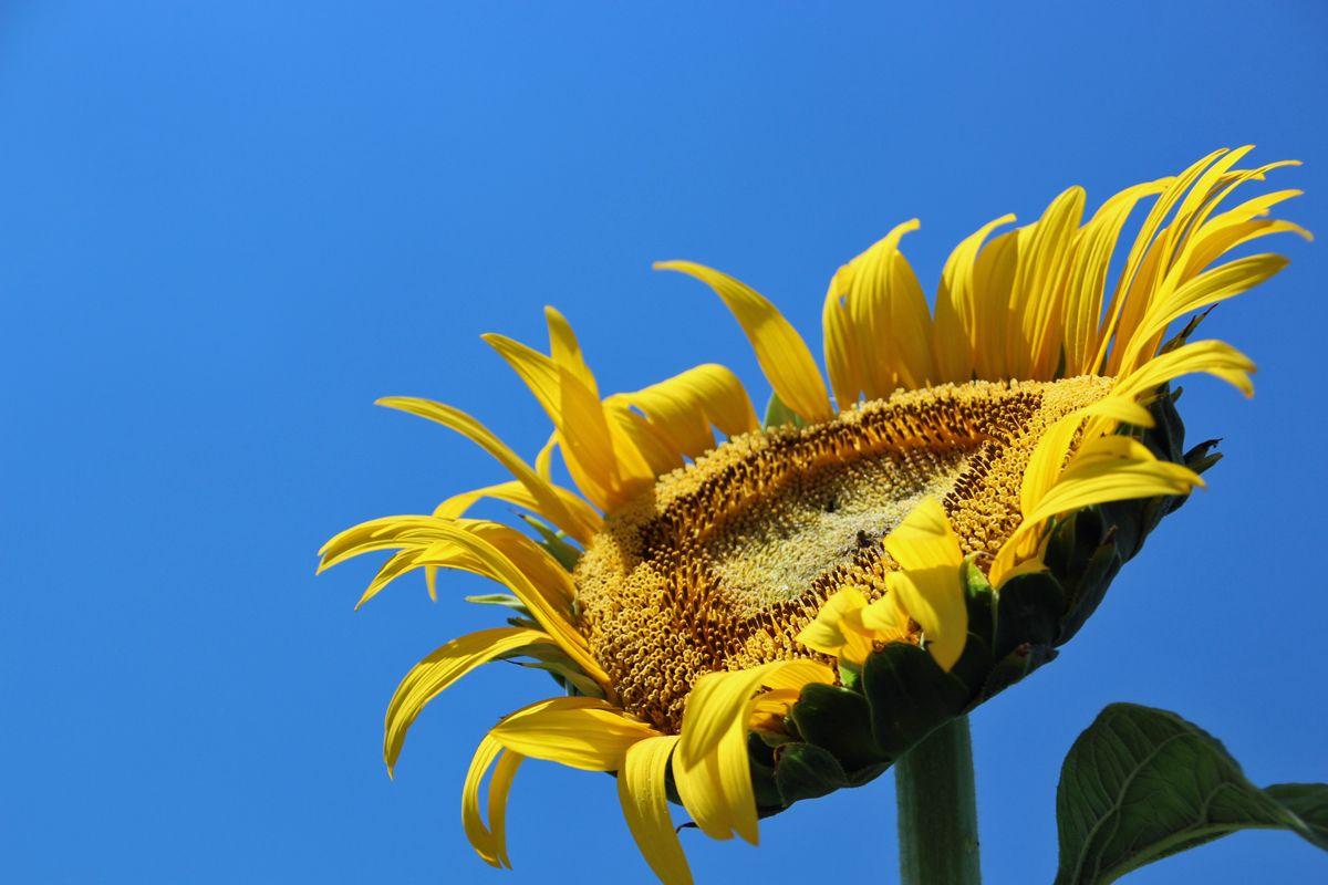 ひまわりの花はたいてい東向き、お昼前がお勧め