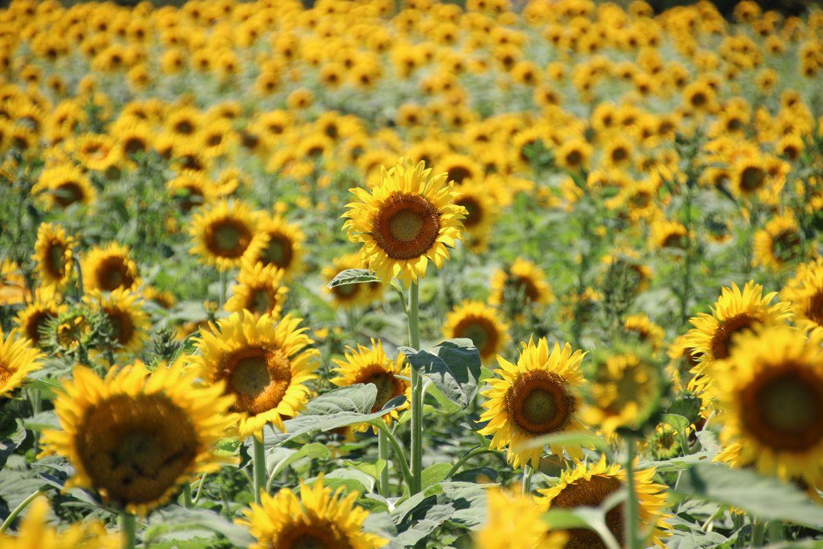 10万本が咲き誇る!東京都清瀬市のひまわり畑を見に行こう!