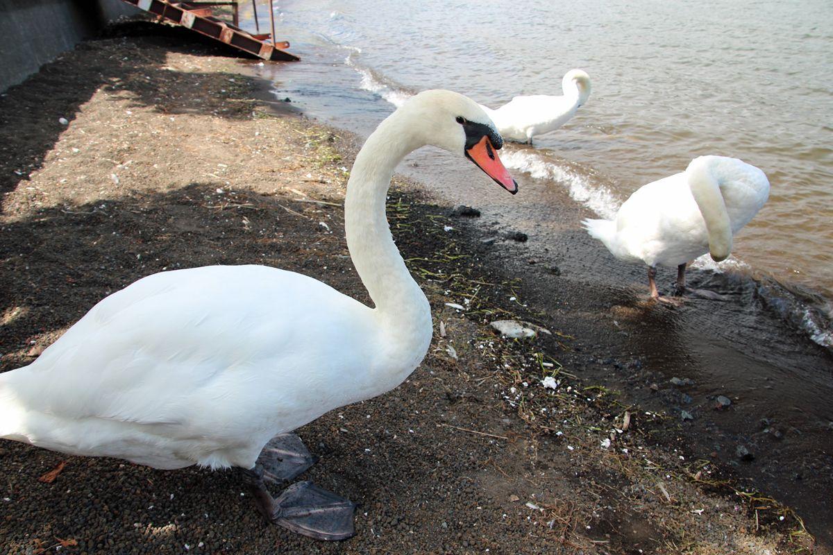 白鳥とのふれあいが楽しめるかも!
