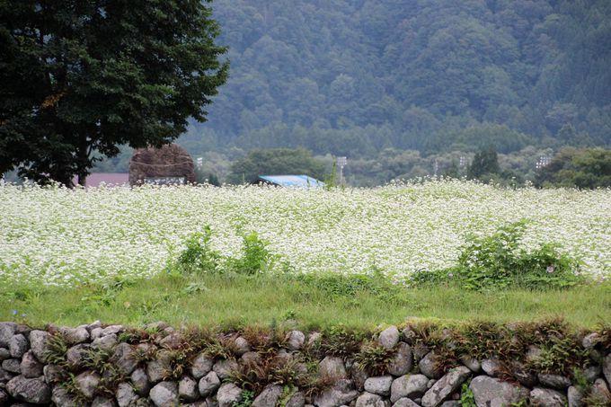 見逃せない!蕎麦の花と稲穂が織り成す田園美!