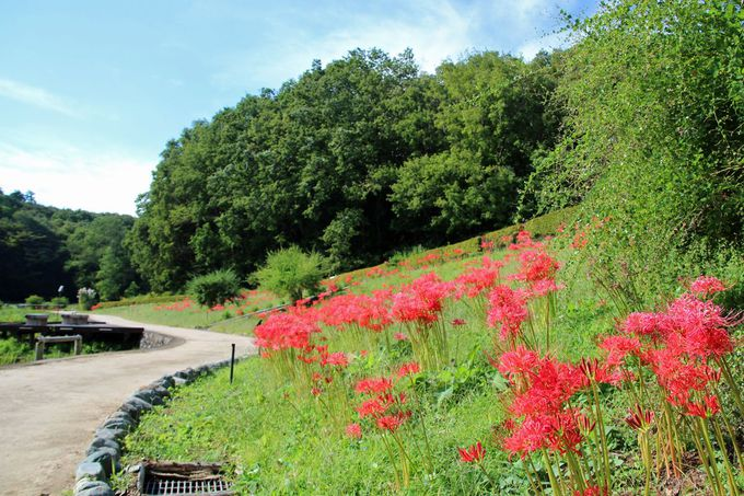 彼岸花が咲き誇る、初秋の吹上しょうぶ公園