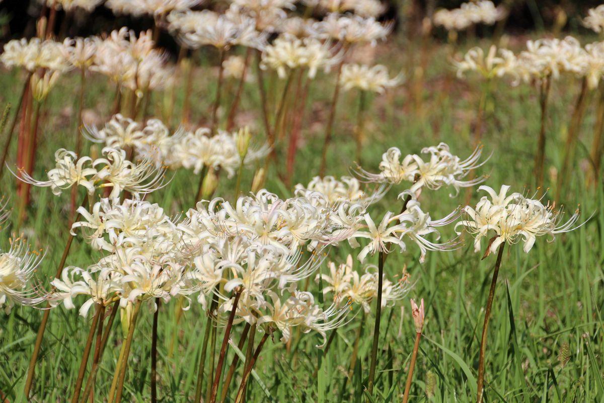 白い彼岸花の多さは特筆もの!