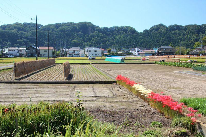 東京都羽村市唯一の水田「根搦前」で初秋の風情を楽しもう!