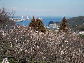眼下に東京湾!見晴らし抜群の梅林!横須賀「田浦梅の里」