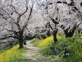 埼玉県北本市で桜名所巡り!「城ヶ谷堤」と「石戸蒲ザクラ」